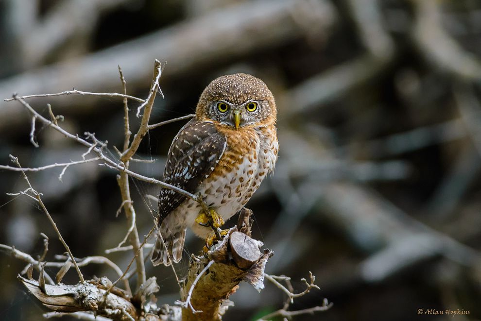 Myths, Superstitions About Owls And Keeping Owls As Pets 1
