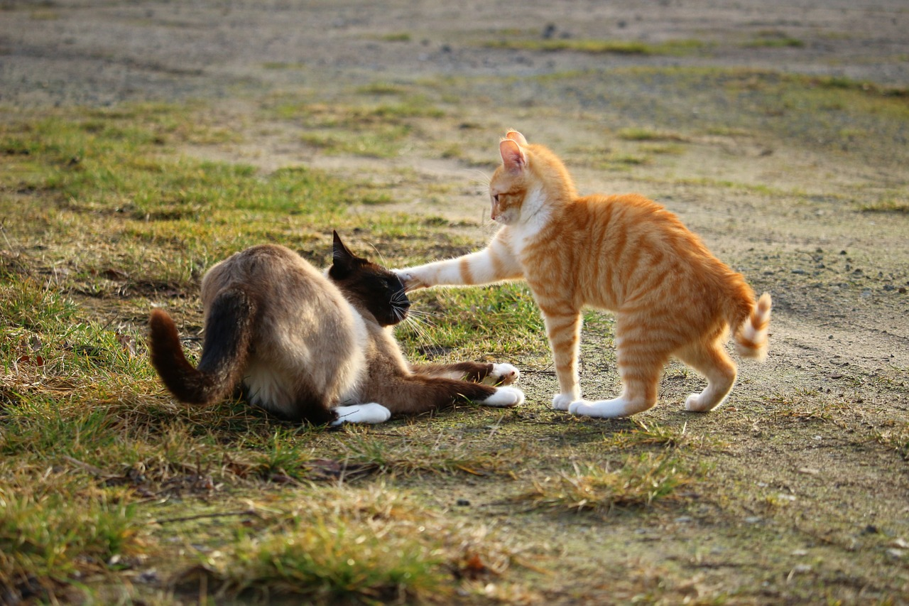 Cats Not Getting Along? Why Your Cats Suddenly Becomes A Troublemaker? 1