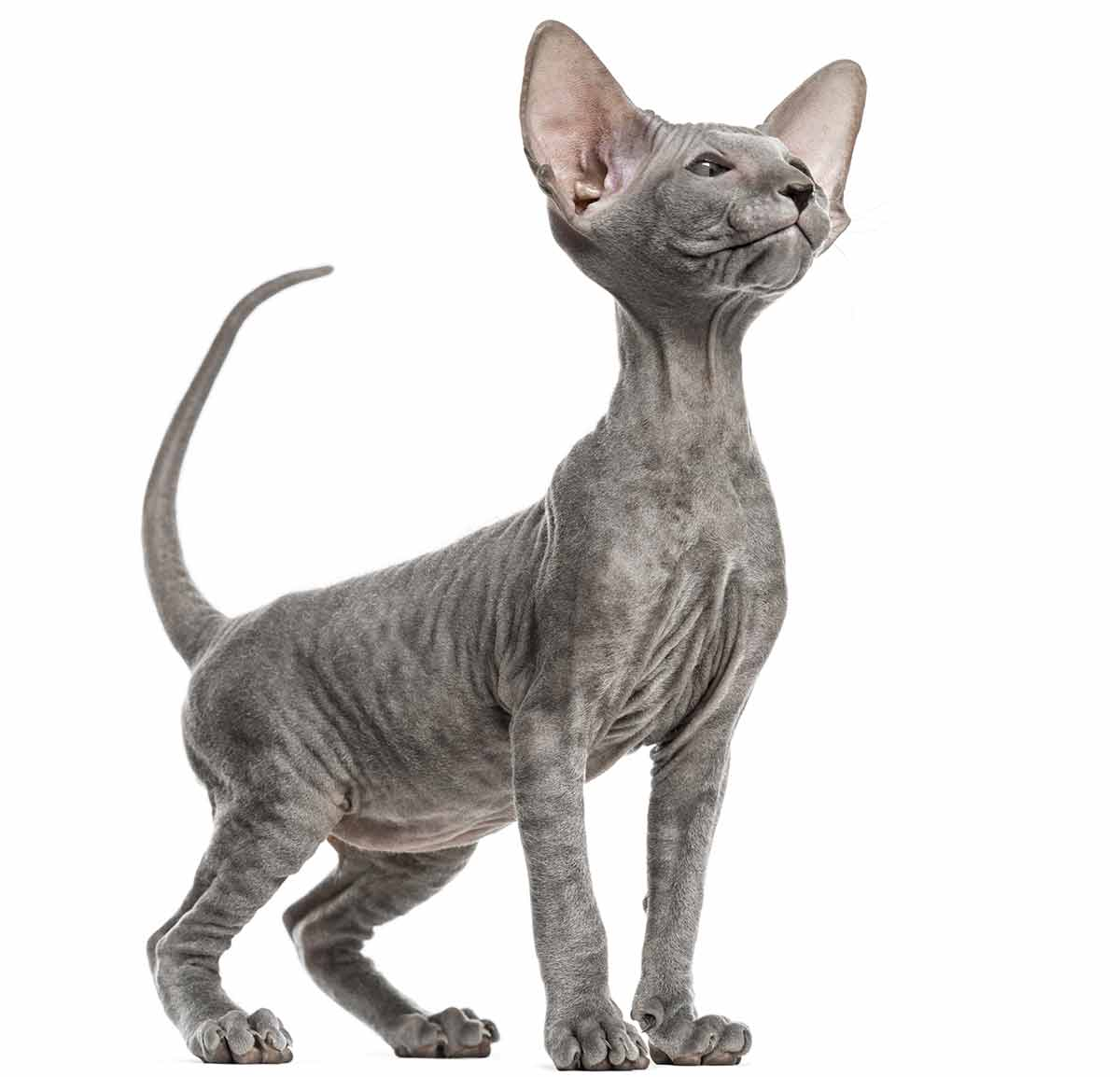 (10) Ten Of The Rarest Cat Breeds In Existence Today 1