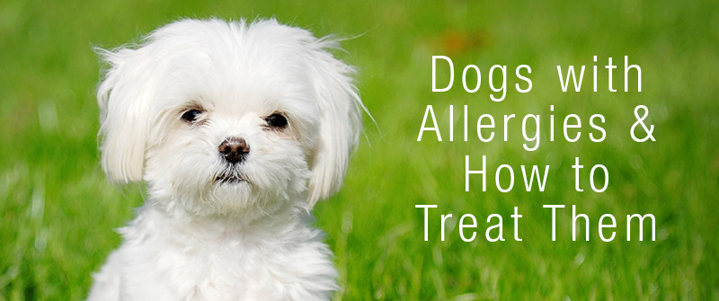 Dog Allergies: Symptoms And Causes - How To Know If Your Dog Has Allergies 1