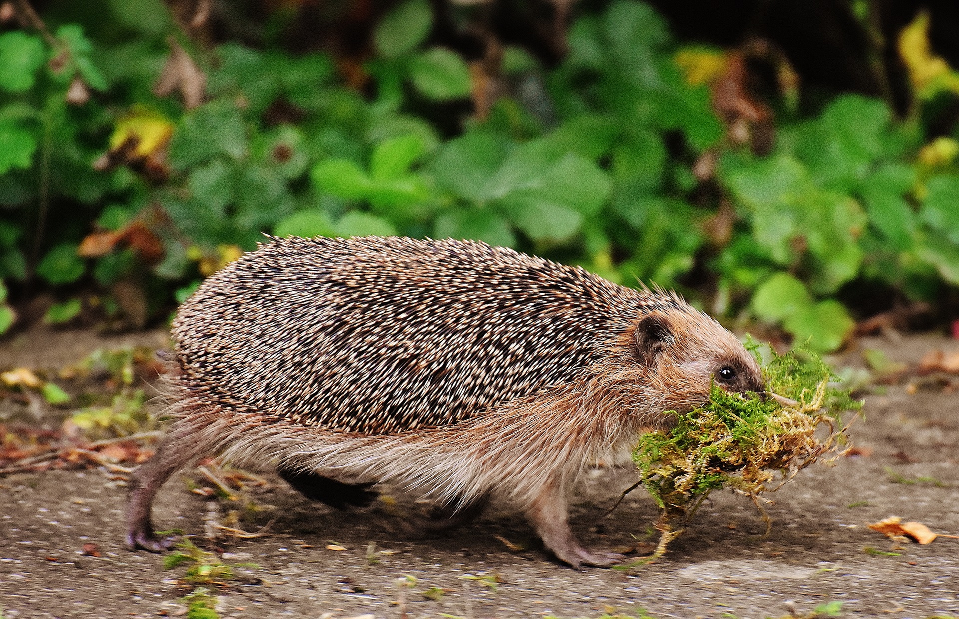 Keeping Hedgehogs As Pets; How To Care For Pet Hedgehogs 1