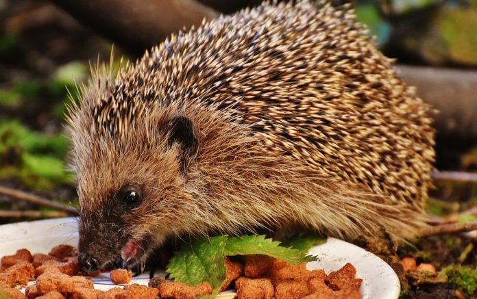 Keeping Hedgehogs As Pet