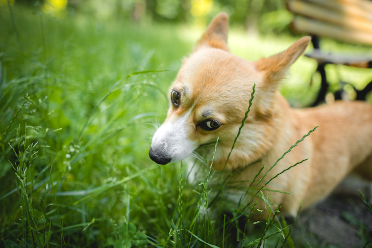 Why Do Dogs Eat Grass? 1