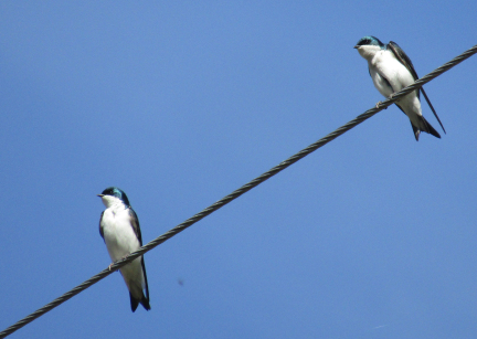 Do Birds Get Shocked When They Sit on Wires? 1